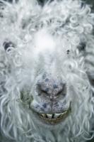 9_goatface004.jpg